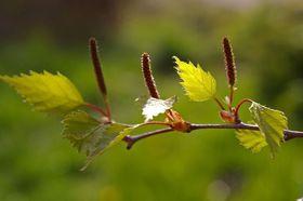 Birke Blüte