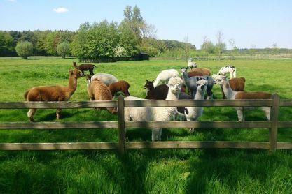 Füllmaterialien Alpaka-Herde auf der Weide