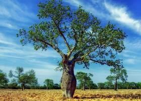 Kapok-Baum mit Blättern