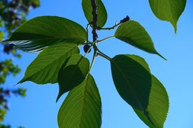 Kirschbaum Blätter