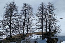 Lärche im Winter