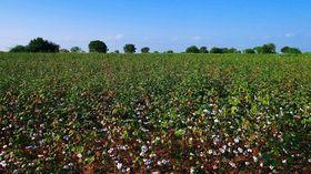 natufaser Baumwolle Feld