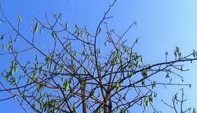 Naturfaser Kapok Baum Schoten