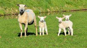 Naturfaser Schafwolle Schaf geschoren mit Lämmern