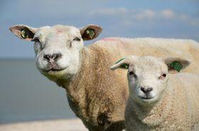 Naturfaser Schafwolle