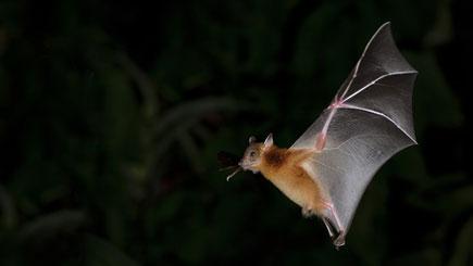 Eine Fledermaus nachts auf der Jagd nach Beute - © Nuwat / Fotolia.com
